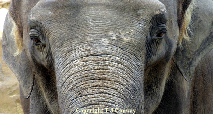 Close up photo of an elephant