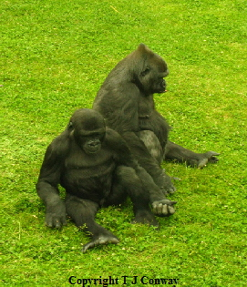 photograph of two gorillas