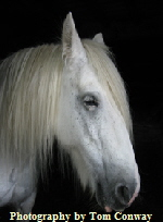 portrait of a white horse photograph