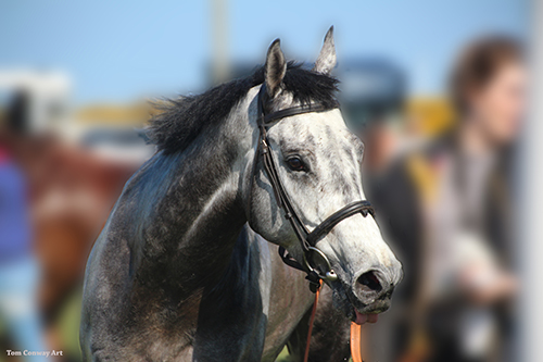 portrait of the  grey race horse by Tom  Conway